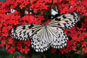 Le papillon : symbole de l'Ame débarrassée de son enveloppe charnelle